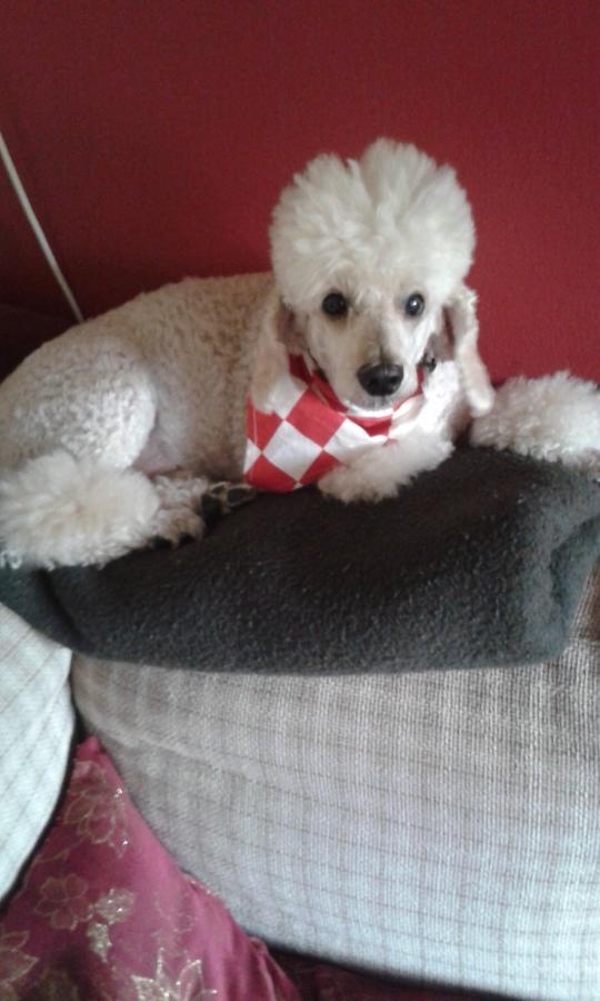croatian dog Bigi